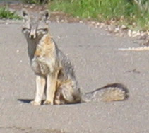 fox_on_driveway6_30mar09_cropped