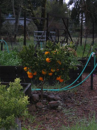 little_orange_15feb09