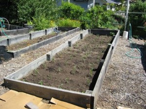 Bed 5: After planting sweet corn