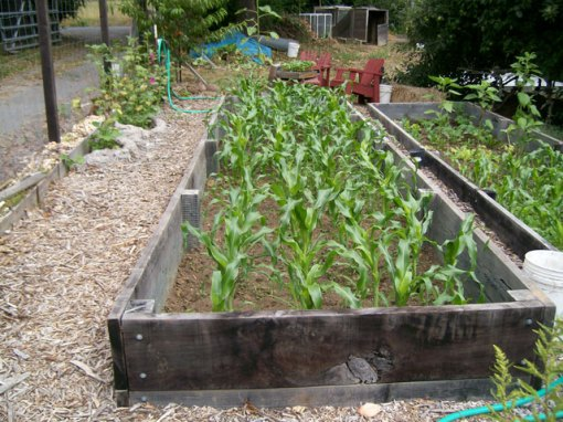 Bed 7 Sweet Corn