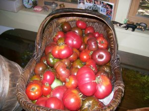 tomato harvest for sauce